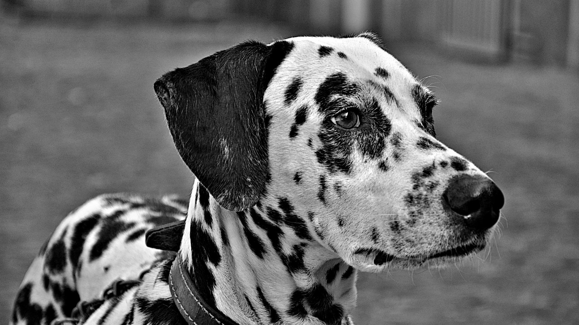 Svartvit bild på dalmatin