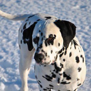 Dalmatin i snön