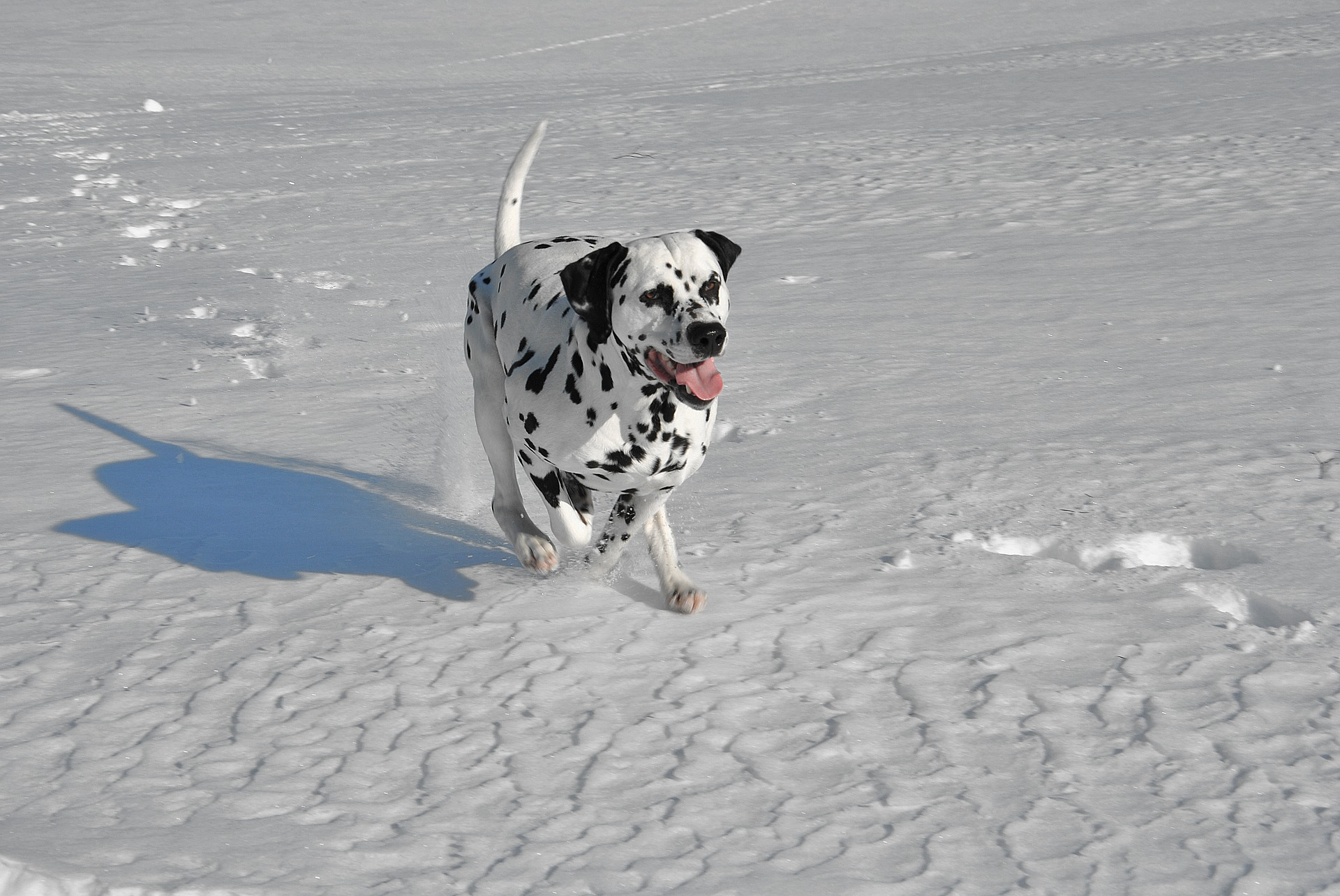 Löpande dalmatin i snön